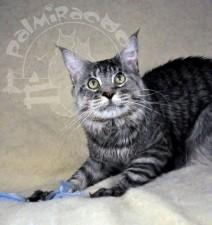 Серый котяркин майн-кун.