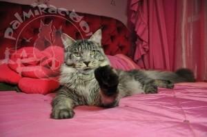 Майн-кун на розовой постели.