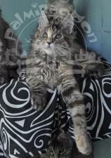 Все котята - майн-куны.