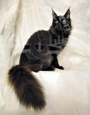 Роскошный черный хвост.