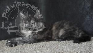 Аzula - котенок майн-кун.