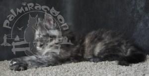 Профиль серого котенка на сером фоне.