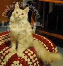 Мейн-куны очень ласковые коты.