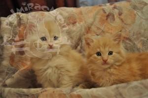 Двое рыженьких майн-кунчиков.