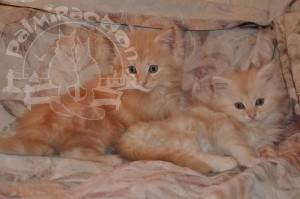 Рыженькие котятки.