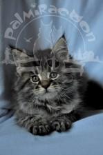 Снимок котенка на голубом фоне.