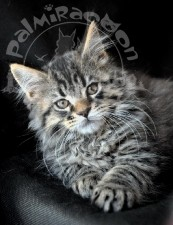Очень удачное фото котенка мейн-куна.