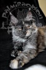 Уверенный взгляд красивой кошки.