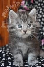 Серенький, пушистенький, я котенок.