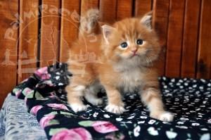 Вы не поверите но я котенок майн-кун.
