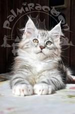 Мейн-кун. Котенок.