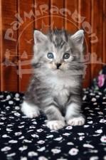 Серенький котенок майн-кун.