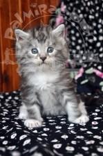 Котеночек майн-кунчик.