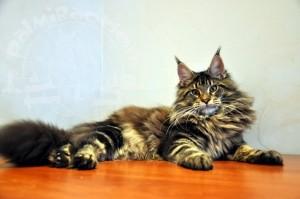 Пушистый кот на светлом столе.