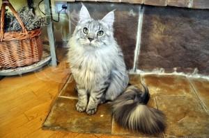 Смирный и красивый кот.