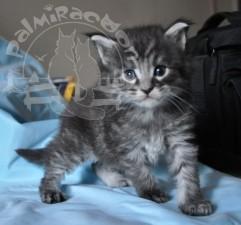 А вы любите котят майн-кунов?