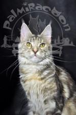 Кот породы майн-кун очень ласков.