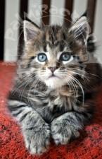 Голубые глазки котенка.