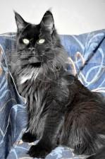 Великолепная кошка майн-кун.