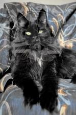 Кошка иссяня-черного цвета.