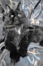 Портрет черной пантеры...