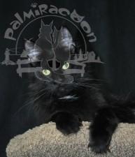 Кama - кошка мейн-кун.